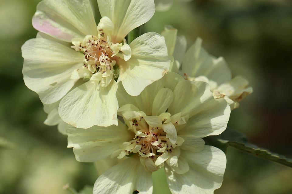 Hollyhock, Poplar Garden Rose, Common Peony, Stock Rose
