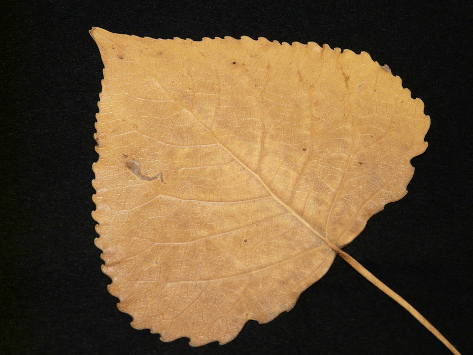 Poplar Leaf, Fall Leaves, Pressed, Poplar, Tinker