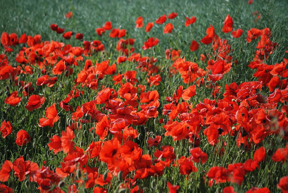 Poppy, Poppies, Flowers, Mark, Eng, Summer, Red, Bloom