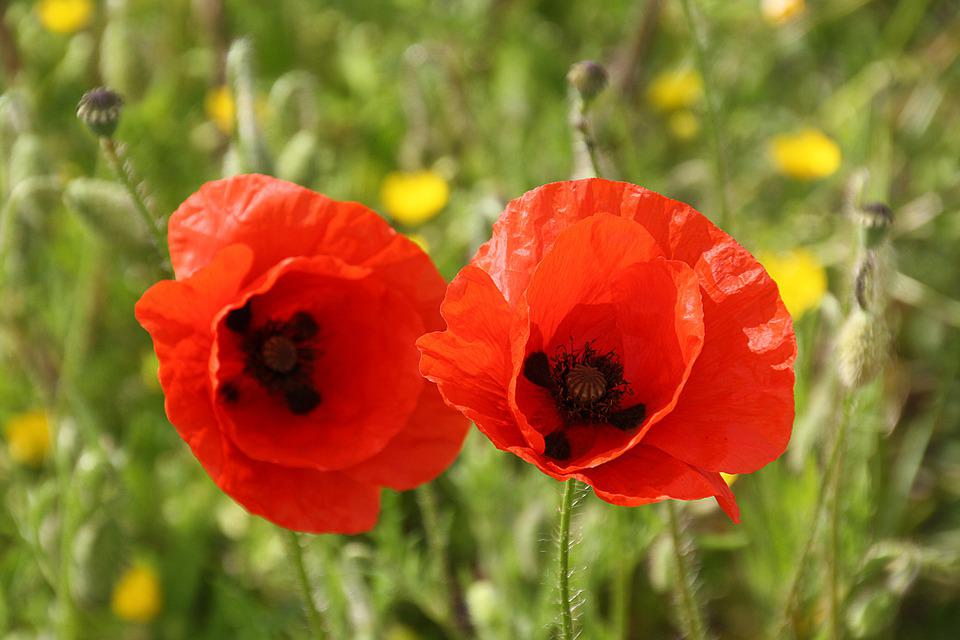 Flora, Flowers, Poppies, Nature, Red, Blossom, Bloom