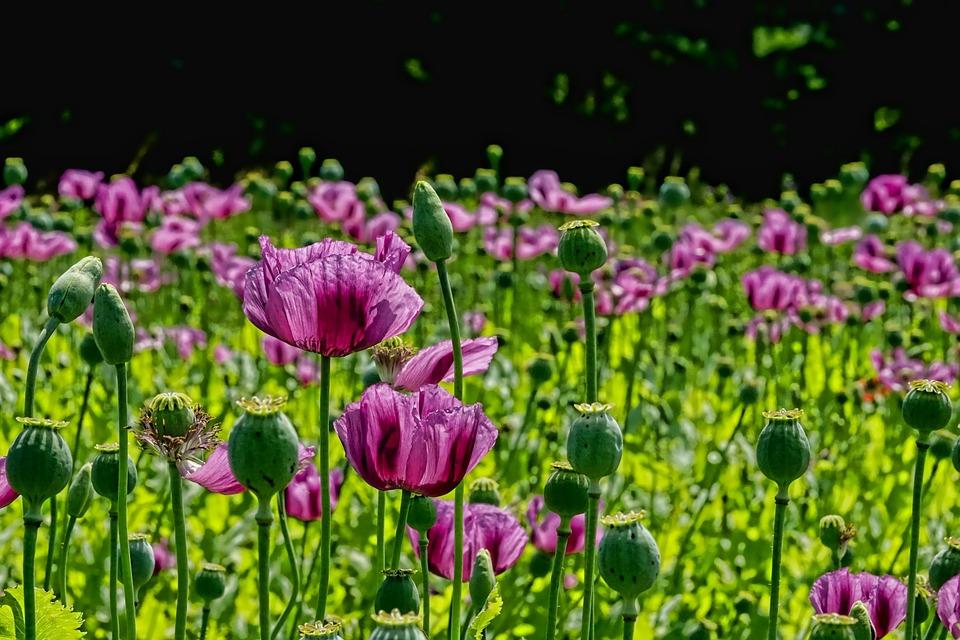 Poppies, Flowers, Buds, Field Of Poppies, Garden, Field