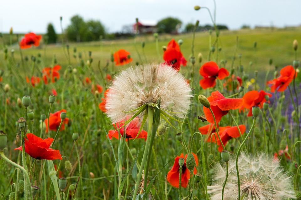 Poppies, Dandelion, Dandelion Seed, Field, Flowers