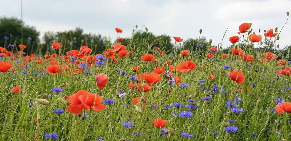 Flowers, Poppies, Field, Summer, Joy, Background