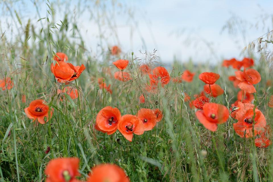 Field, Poppies, Meadow, Weeds, Flowers, Village