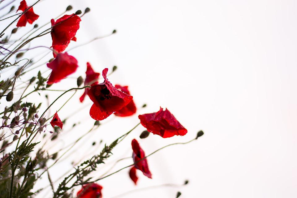 Bloom, Blossom, Flora, Flowers, Nature, Poppies