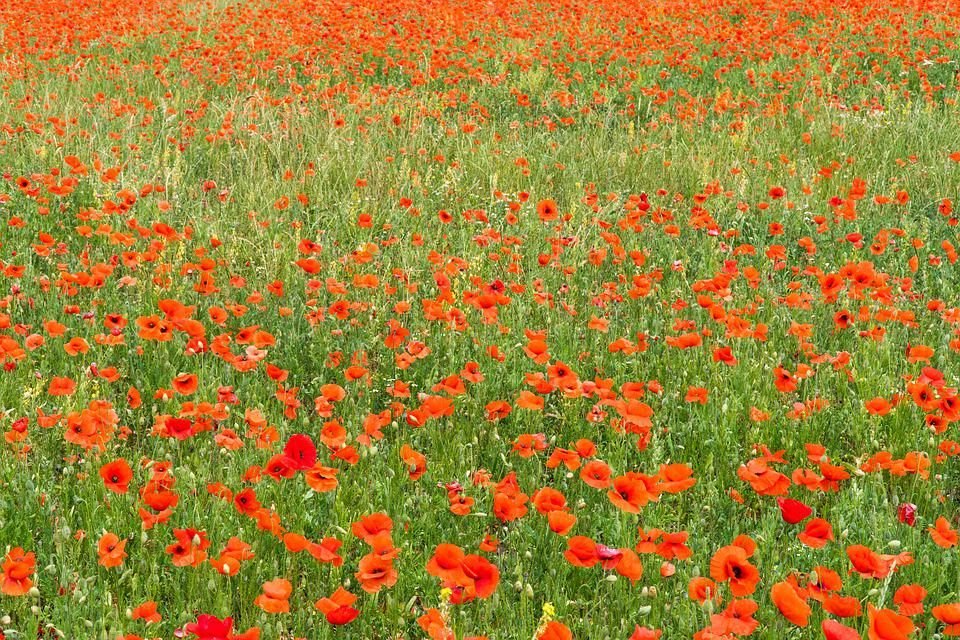 Poppy, Poppies, Poppy Field, Red, Nature, Flower
