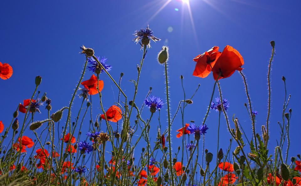 Poppies, Blue Sky, Flowers, Wildflowers, Poppy Field