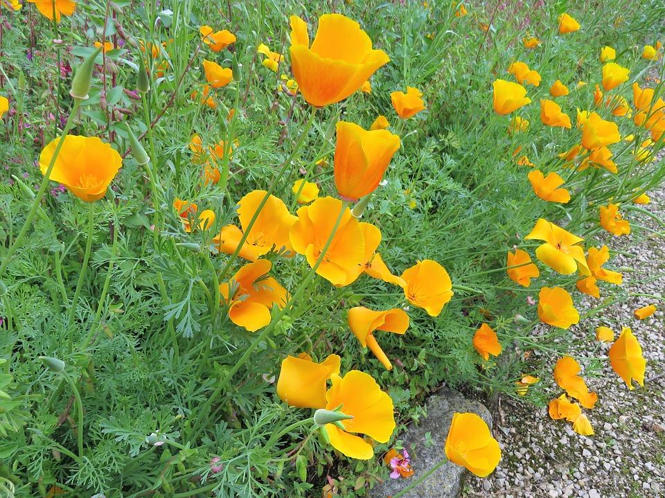 Free photo poppies flowers yellow poppy garden california max pixel yellow flowers poppy poppies california garden mightylinksfo
