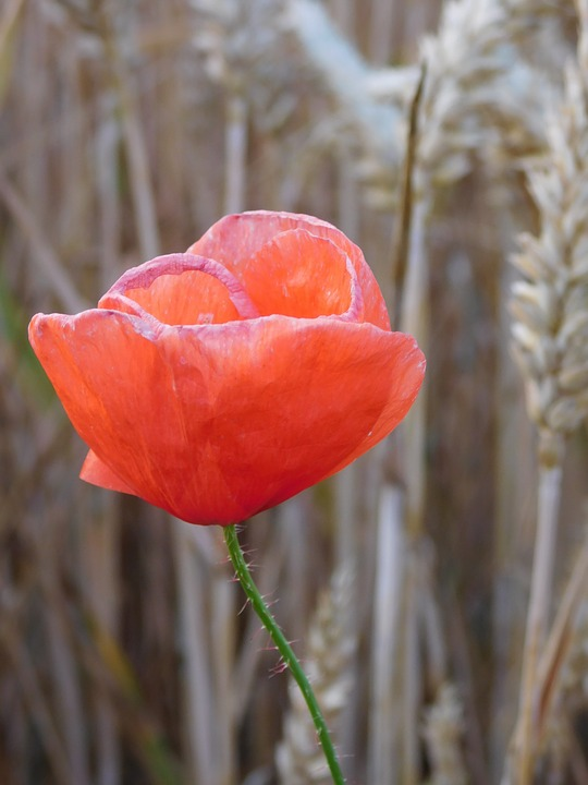 Poppy, Poppies In The Field, In Field, Field