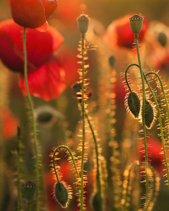 Flowers, Poppies, Buds, Petals, Field, Meadow, Flora