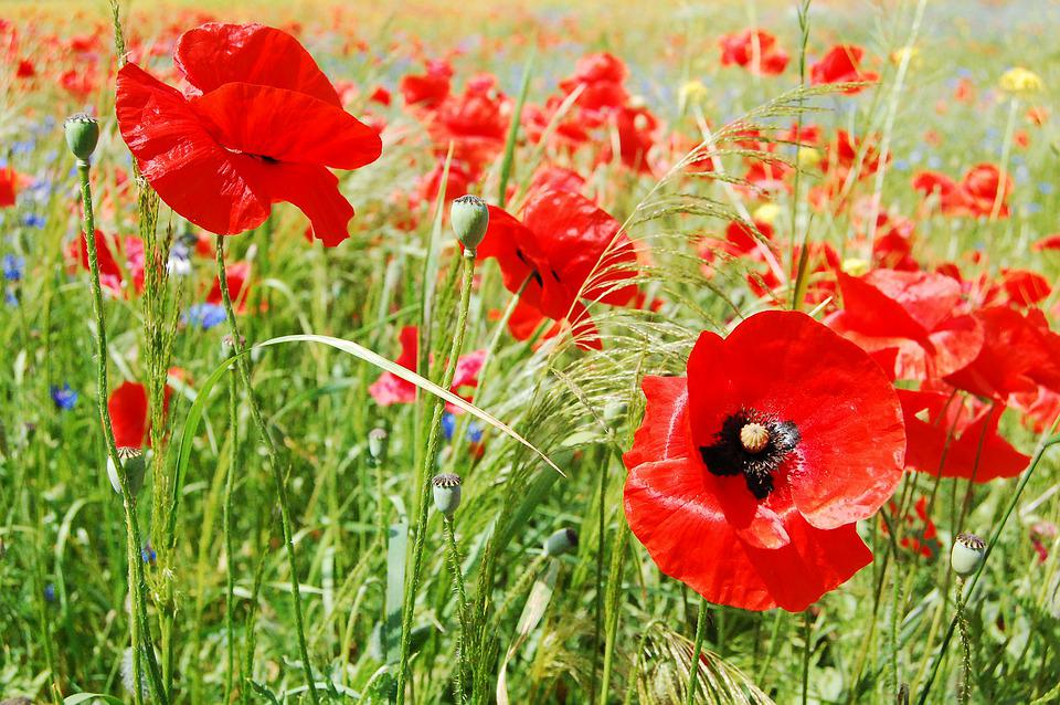 Poppies, Flowers, Nature, Red, Field