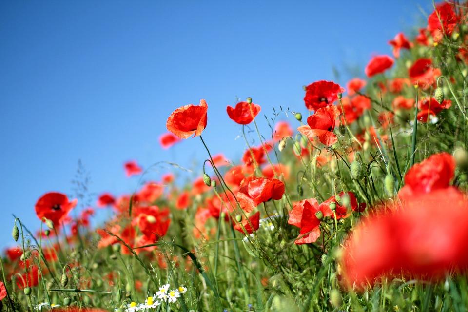 Poppies, Poppy, Red, Flower, Eng, Flora, Sunshine, Mark