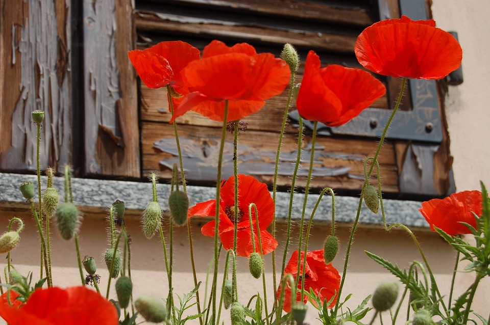 Free photo poppies poppy red flowers nature max pixel flowers poppies nature poppy red mightylinksfo