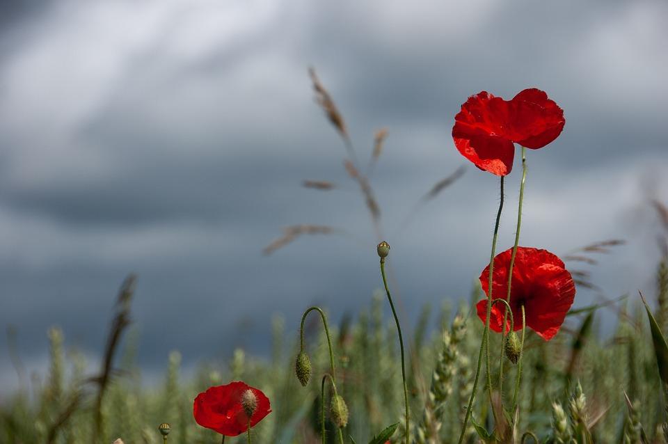 Poppies, Sky, Nature, Summer, Poppy, Poppy Flower