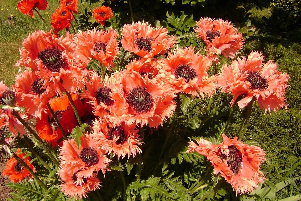 Poppies, Perennials, Summer