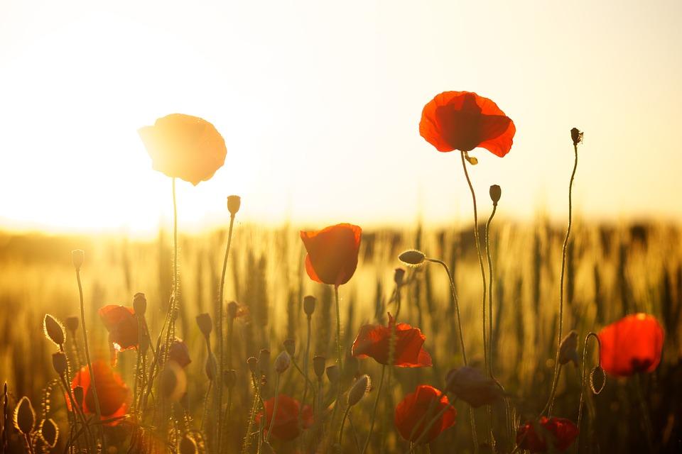 Poppies, Field, Sunset, Dusk, Sunlight, Flowers, Meadow