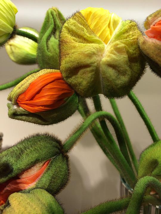Poppy, Klatschmohn, Flowers, Orange, Yellow, Bent