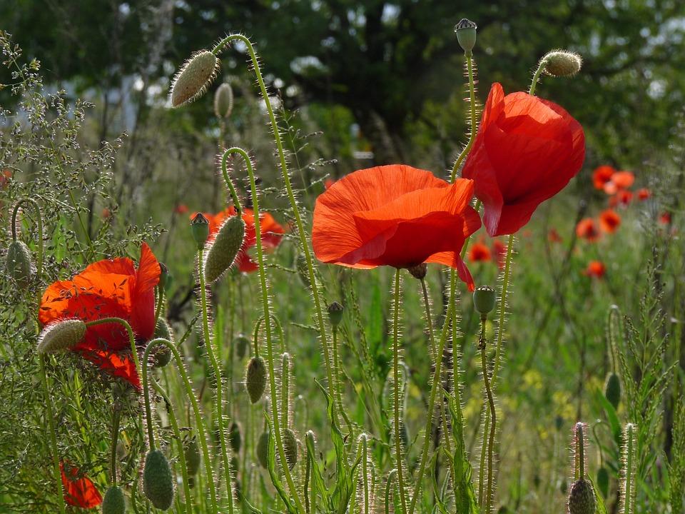Red Poppy, Nature, Poppy, Blossom, Bloom