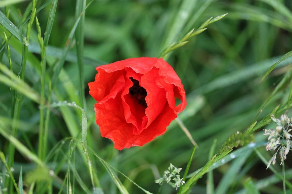 Poppy, Meadow, Blossom, Bloom, Wild Flowers