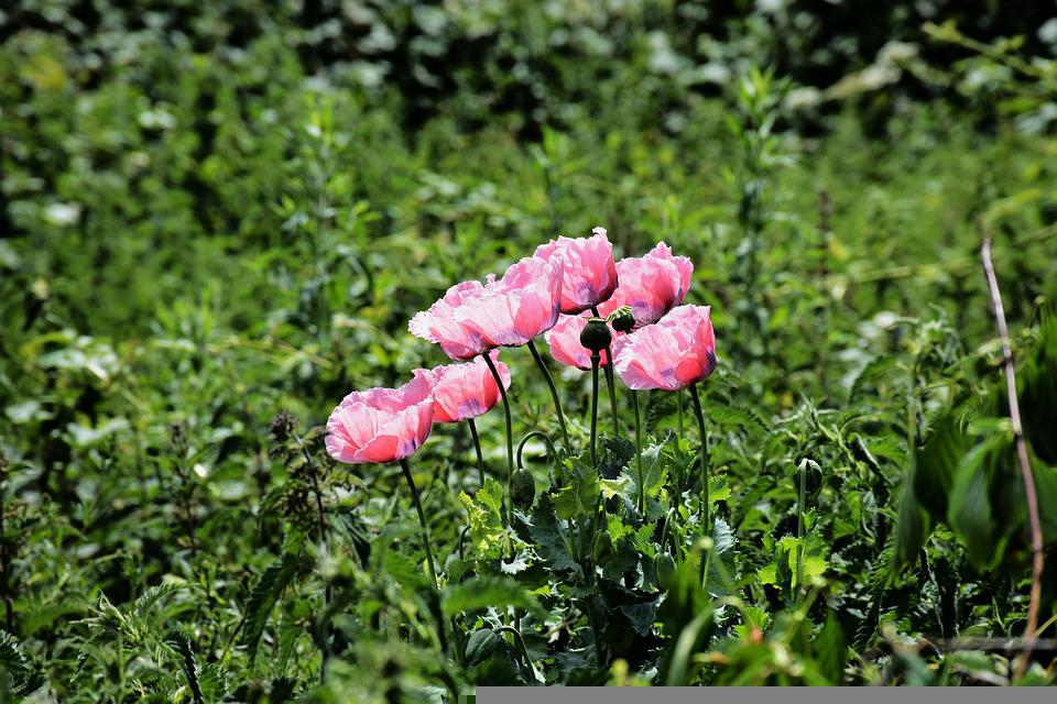Poppy, Pink, Bloom, Plant, Nature, Blossom, Flowers