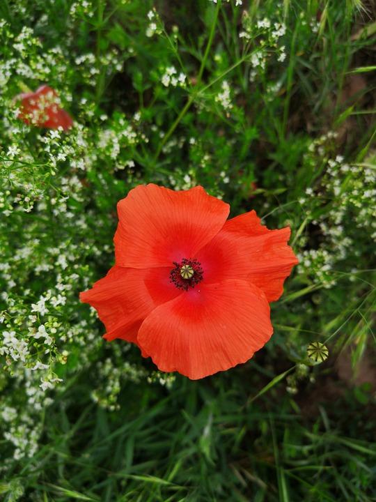 Poppy, Red, Nature, Summer, Blossom, Bloom, Klatschmohn