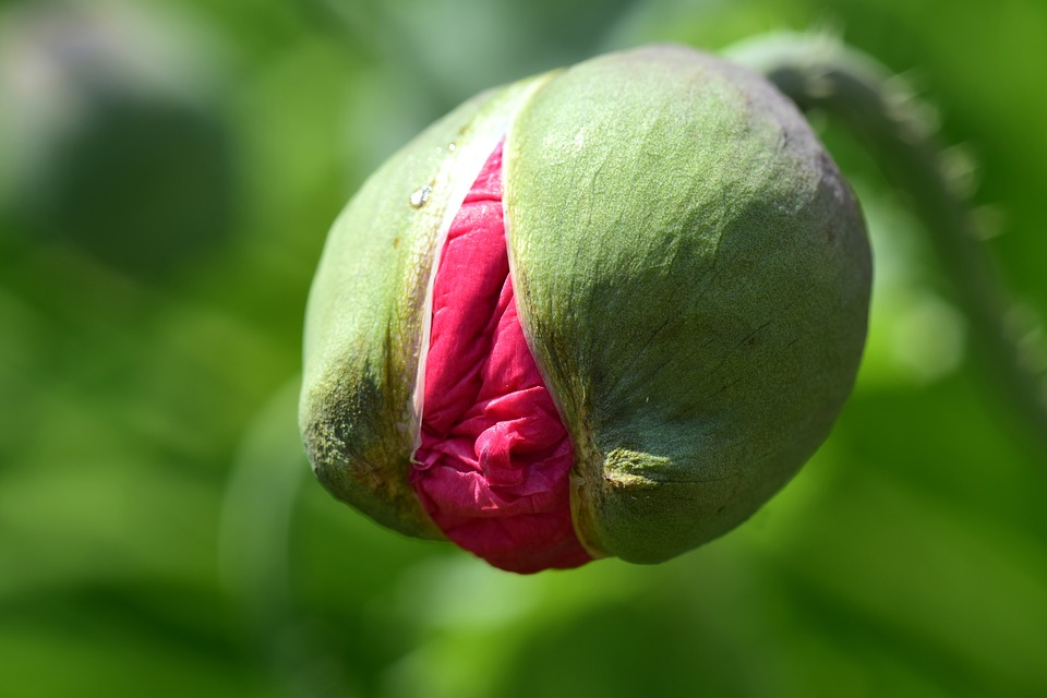 Free photo Poppy Bud Poppy Small Young Open Tender Pink Bud