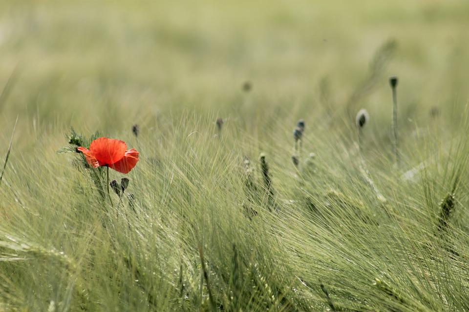 Meadow, Field, Wheat, Landscape, Peaceful, Poppy, Grass