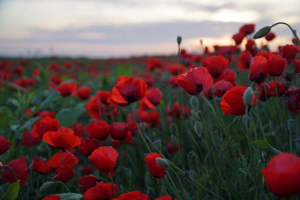 Israel, Nature, Poppy, Poppies, Poppy Field