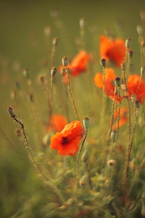 Poppies, Field, Meadow, Poppy Field, Flowers