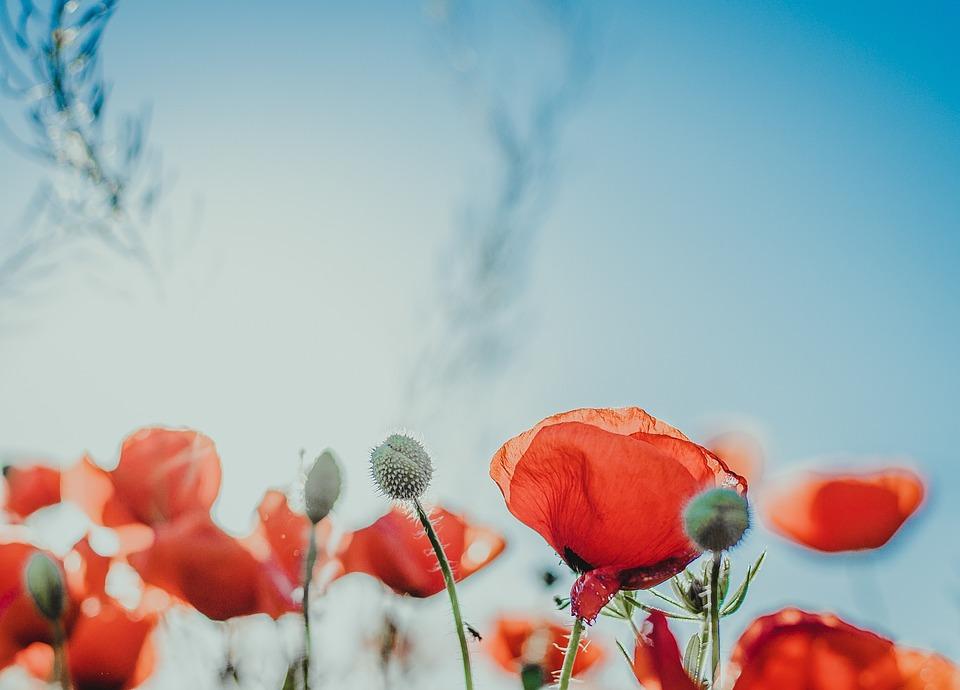 Flower, Nature, Poppy, Flora, Season
