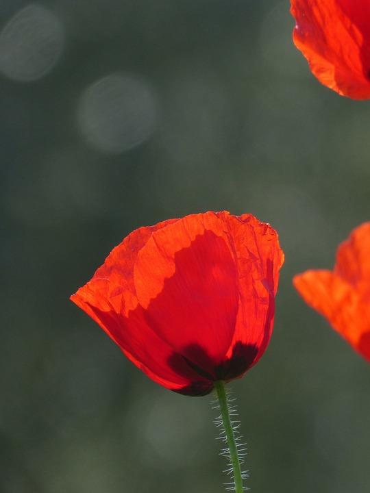 Poppy, Ababol, Rosella, Spring, Red, Florir
