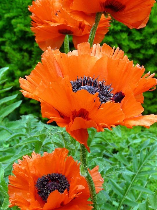 Poppy, Poppy Flower, Mohngewaechs, Blossom, Bloom, Red