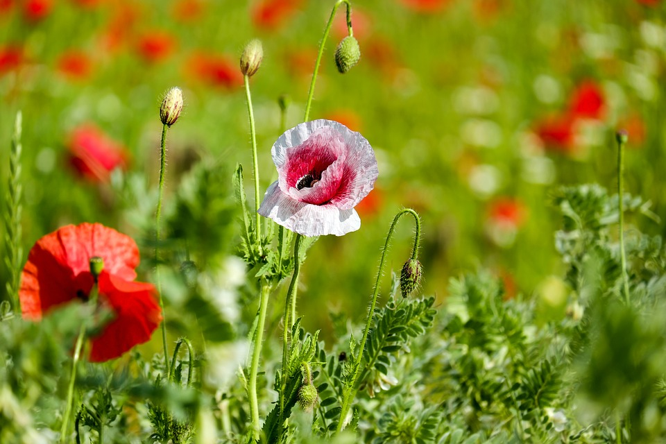 Klatschmohn, Poppy Flower, Wild Flower, Blossom, Bloom