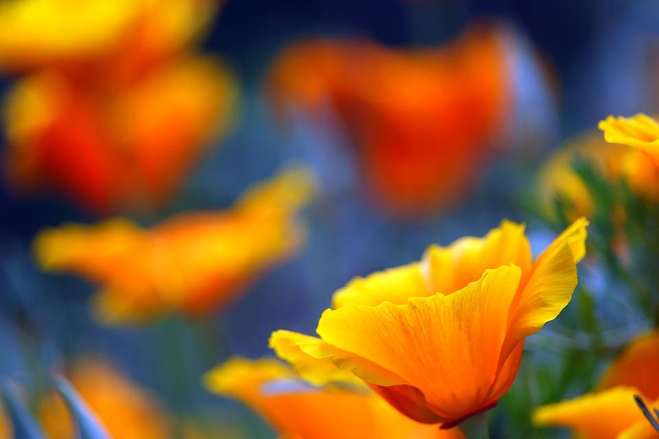 Iceland Poppy, Poppy, Poppy Flower, Flower