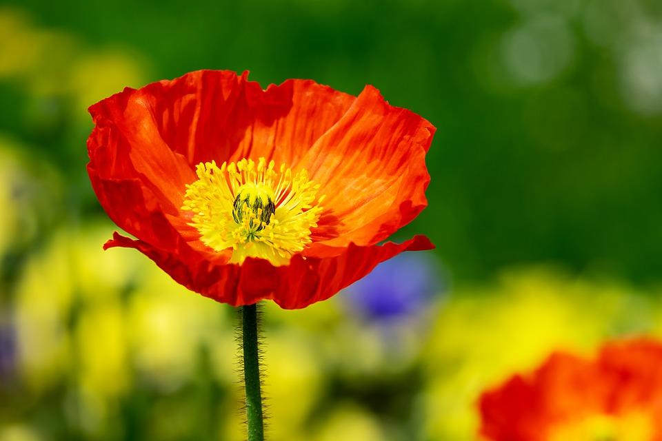 Poppy, Flower, Klatschmohn, Flowers, Poppy Flower