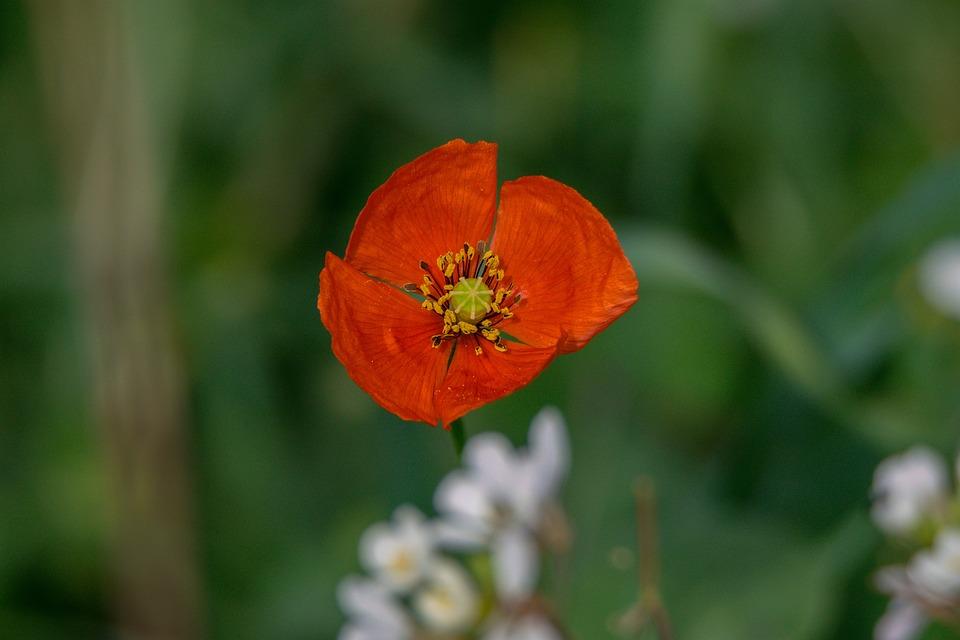 Flower, Nature, Plant, Open Air, Leaf, Poppy