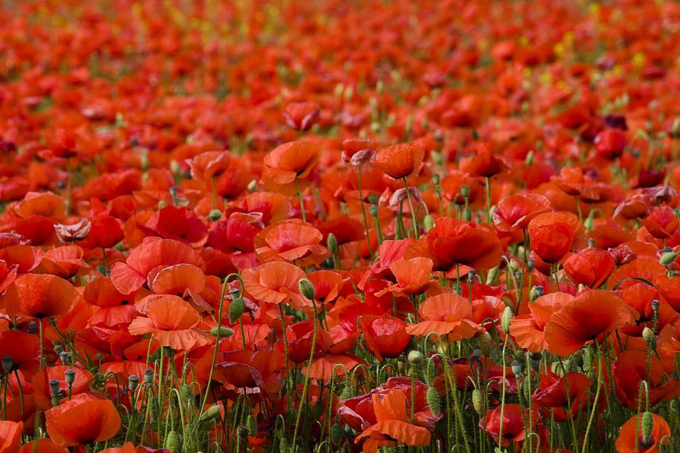 Free Photo Poppy Flower Poppy Nature Red Flowers Meadow Max Pixel
