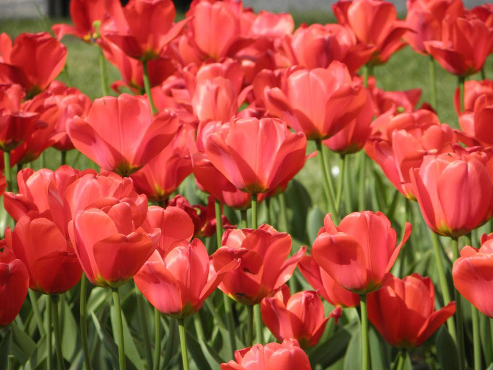 Flower, Red, Poppy