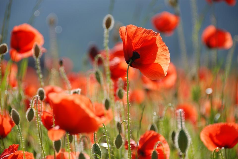 Poppy, Poppy Flower, Flowers, Red