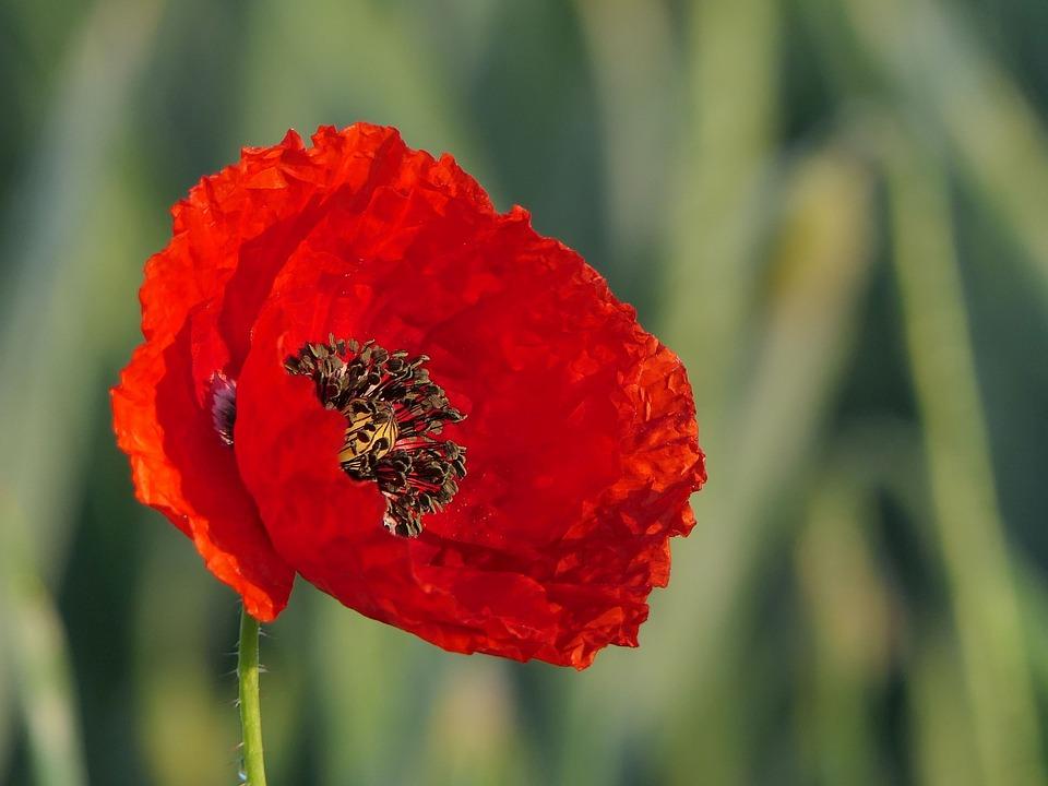 Klatschmohn, Poppy Flower, Poppy, Red Poppy
