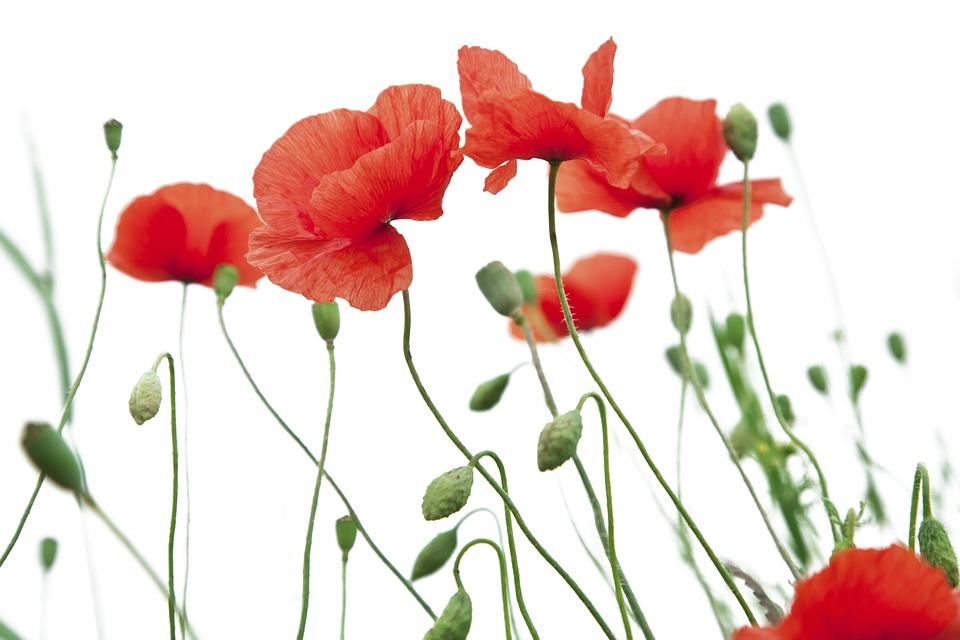 Free photo poppy flower white background poppy funds freshness max poppy flower poppy white background funds freshness mightylinksfo