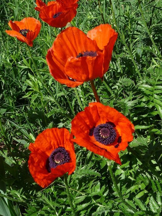 Flower, Red, Poppy, Poppies, Nature, Garden, Plant
