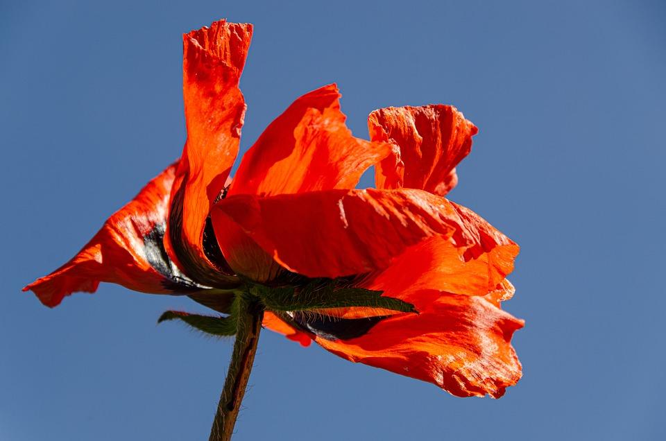 Poppy, Poppy Garden, Garden, Shrub, Blossom, Bloom