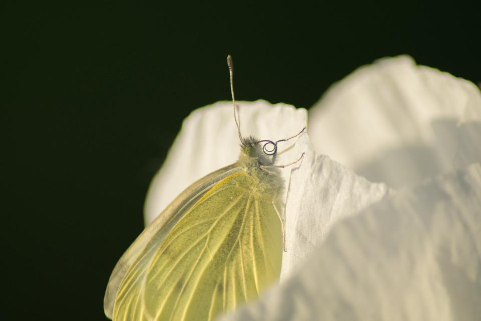 Butterfly, Insect, Poppy, Nature, Macro, Field, Flower