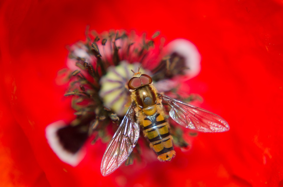 Poppy, Alaus, Insect, Fly, Macro