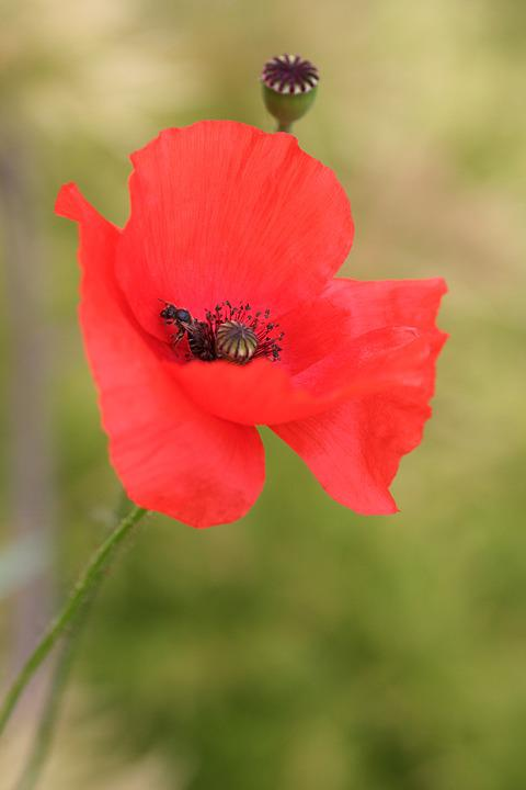 Poppy, Insect, Petals, Garden, Red, Nature
