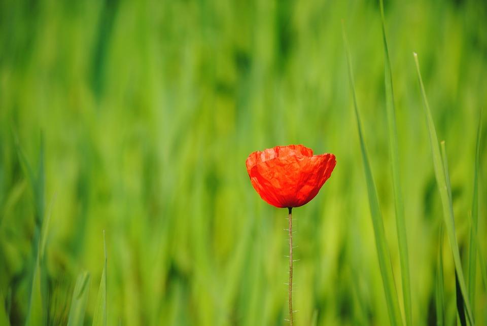 Poppy, Flower, Blossom, Bloom, Interruption, Live