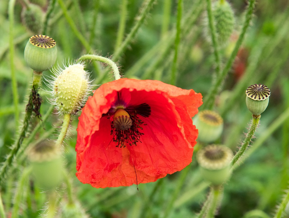 Poppy, Flower, Buds, Red, Plant, Floral, Natural, Bloom