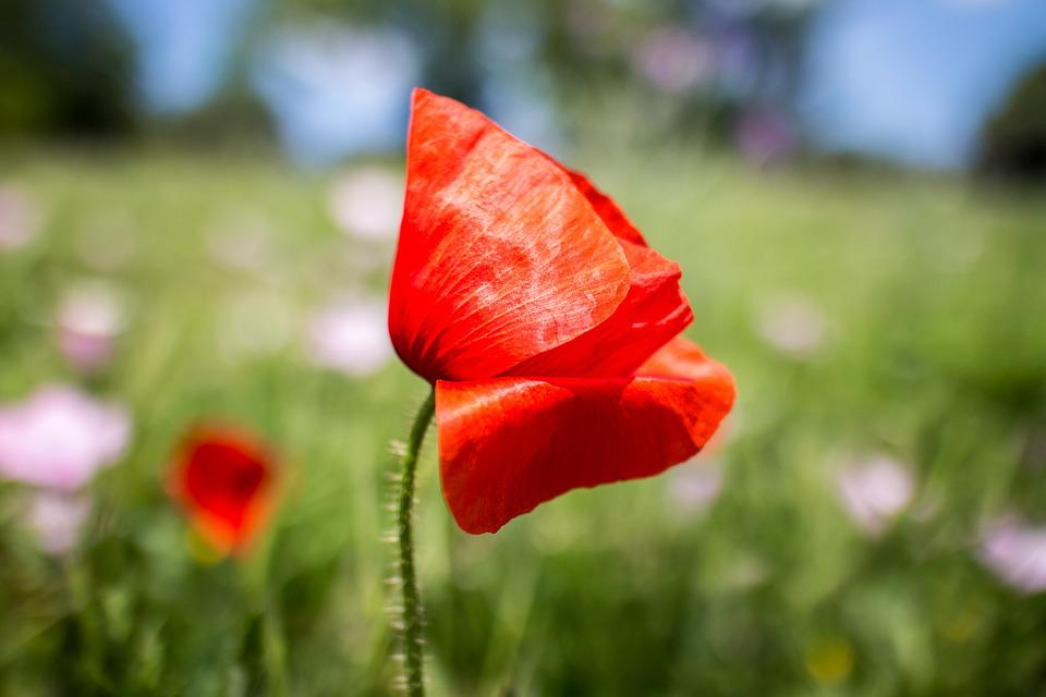 Poppy, Nature, Flower, Red, Plant, Flowers, Field