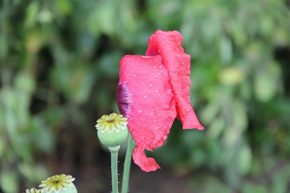 Nature, Plant, Poppy